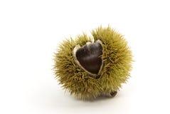 Ruwe chestnut.a sluiten omhoog ontsproten Stock Afbeelding