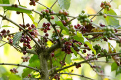 Ruwe coffeinstallatie in landbouwlandbouwbedrijf Royalty-vrije Stock Foto