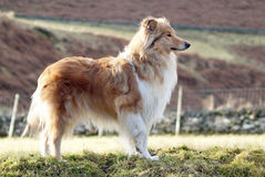 Ruwe Collie Stock Foto