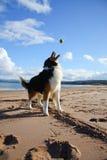 Ruwe Collie op strand Royalty-vrije Stock Afbeeldingen