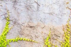 Ruwe concrete muur met één of andere klimop op het Stock Fotografie