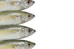 Ruwe die Makreel of Rastrelliger-brachysomavissen op witte B worden geïsoleerd Stock Afbeeldingen