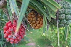 Ruwe en rijpe Pandanus odorifer of Schroefpijnboom op de boom Royalty-vrije Stock Afbeelding