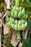 Ruwe groene bananen Stock Afbeeldingen