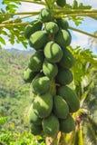 Ruwe groene papaja op boom Het kweken van papajafruit in tropisch klimaat royalty-vrije stock foto