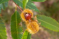 Ruwe kastanje op een kastanjeboom stock afbeelding