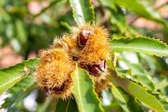 Ruwe kastanje op een kastanjeboom stock afbeeldingen