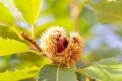 Ruwe kastanje op een kastanjeboom stock foto