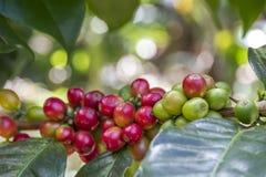 Ruwe koffiebonen op een struik in ecologisch landbouwbedrijf stock foto's