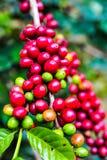 Ruwe koffieboon op de aanplanting van de koffieboom in Thailand Stock Foto's
