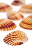 Ruwe kokkel overzeese shells Stock Afbeeldingen