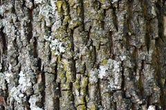 Ruwe natuurlijke textuur voor achtergrond - boomschors Gedetailleerde textu Stock Foto