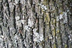 Ruwe natuurlijke textuur voor achtergrond - boomschors Gedetailleerde textu Stock Afbeeldingen