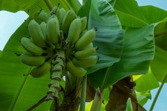 Ruwe onrijpe banaanboom in de boomgaard met de achtergrond van banaanbladeren royalty-vrije stock afbeeldingen