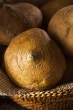 Ruwe Organische Bruine Jicama Royalty-vrije Stock Afbeelding