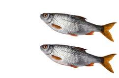 Ruwe Riviervissen, die op een witte achtergrond liggen Stock Fotografie