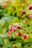 Ruwe sappige roze frambozen op tak in boomgaard Stock Afbeelding