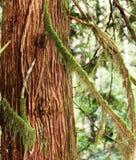 Ruwe Schoonheid van Cedar Bark Royalty-vrije Stock Afbeelding