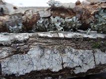 Ruwe schors en boomstam van witte berk als interessante textuur stock foto