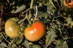 Ruwe Tomaten Royalty-vrije Stock Afbeeldingen