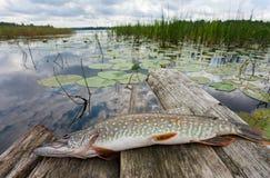 Ruwe, verse vissen (snoeken) Stock Fotografie