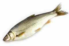 Ruwe vissen Royalty-vrije Stock Foto's