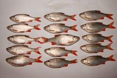 Ruwe vissen rudd Stock Foto's