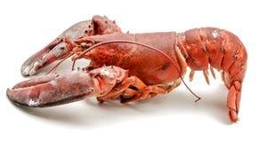 Ruwe zeekreeft Royalty-vrije Stock Afbeelding
