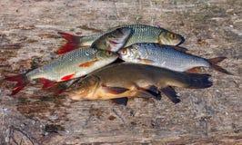 Ruwe zoetwatervissen royalty-vrije stock fotografie