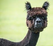 Ruwharige bruine alpaca Stock Foto
