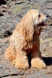 Ruwharige hond stock foto's