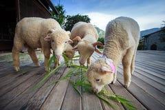 吃ruzi草的美利奴绵羊在农村镭木地面离开  免版税图库摄影