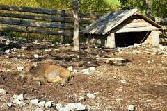 Ruzomberok - Cutkovska dal, löst svin som ligger i pennorna i den Cutkovska dalen arkivbild