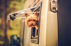 RV Travel with Dog. Motorhome Traveling with Pet. Middle Age Australian Silky Terrier in Motorcoach Window Looking Around Royalty Free Stock Photography