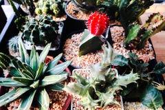 ?rvore bonita do cacto nos jardins exteriores e em parques p?blicos fotos de stock royalty free