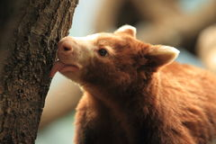 Árvore-canguru de Matschie Imagens de Stock