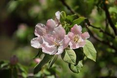 ?rvore da flor de Apple imagem de stock royalty free