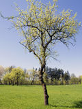 Árvore da mola Fotos de Stock Royalty Free