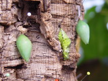 Árvore das lagartas Foto de Stock Royalty Free