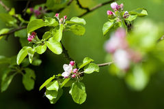 Árvore de Apple na flor Imagens de Stock Royalty Free