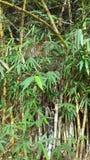 Árvore de bambu longa Fotos de Stock
