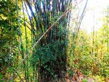 ?rvore de bambu na floresta imagens de stock