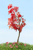 Árvore de bordo vermelho Imagem de Stock Royalty Free