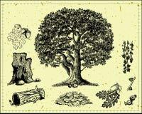 Árvore de carvalho Foto de Stock