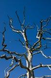 Árvore de carvalho inoperante Imagens de Stock
