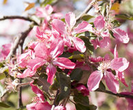 Árvore de cereja cor-de-rosa Foto de Stock
