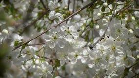 ?rvore de cereja de floresc?ncia