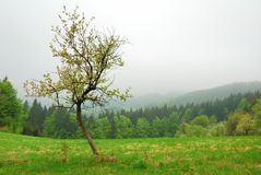 Árvore de cereja pequena Fotos de Stock Royalty Free