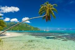 Árvore de coco em uma praia em Moorea Fotografia de Stock Royalty Free
