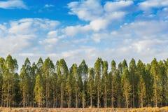 Árvore de eucalipto Imagem de Stock